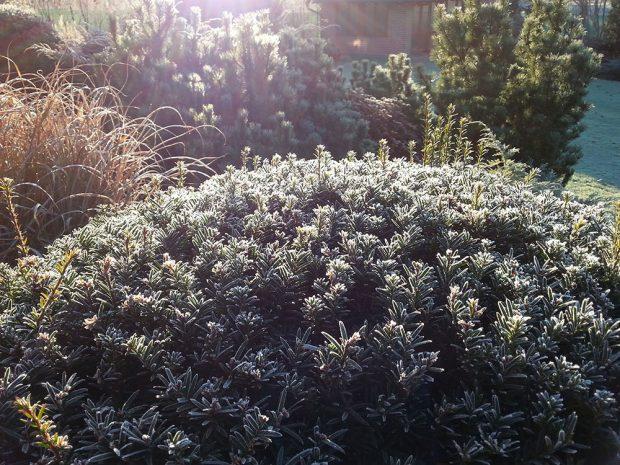Stálezelené dřeviny vnáší zelenou barvu do zahrady i během zimy, kdy je přírodou na barvy chudá. foto: Lucie Peukertová