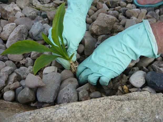 Vodní rostliny se v koupacím jezírku vysazují přímo do kameniva, nikoliv do substrátu, jak by se dalo očekávat. foto: Lucie Peukertová