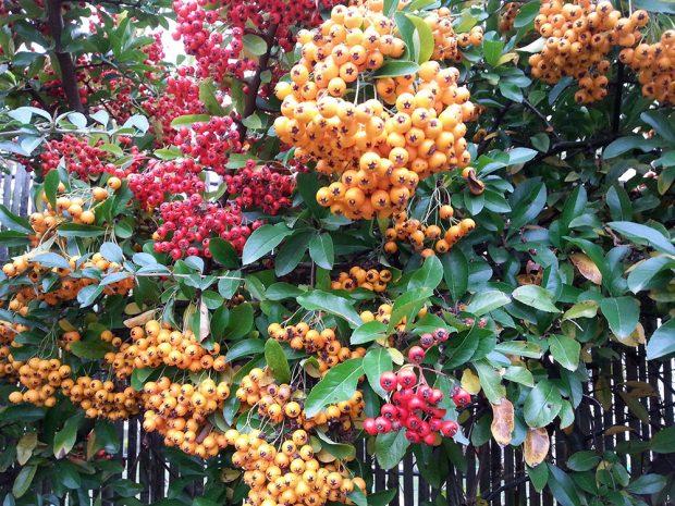 Hlohyně šarlatová potěší neopadavými listy i pestrými plody, které na větvích drží dlouho do zimy. foto: Lucie Peukertová