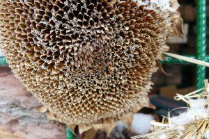 Nabídněte ptákům přirozené zdroje potravy. Dobře poslouží třeba semeníky slunečnic. foto: Lucie Peukertová