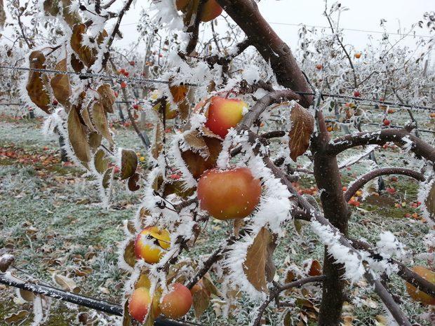 V zimě je vhodná doba pro péči o ovocné stromy. foto: Lucie Peukertová