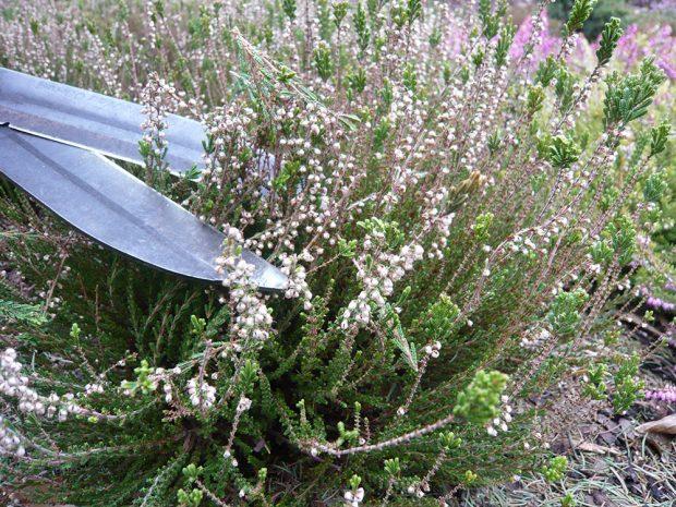 Péči věnujte také vřesovištním rostlinám. foto: Lucie Peukertová