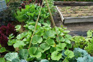 Kompost je vhodný pro vyhnojení půdy určené pro pěstování na živiny náročné zeleniny. Foto: Lucie Peukertová