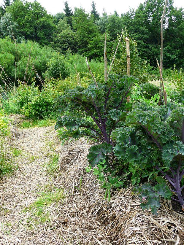 Pokud chcete šetřit zálivkovou vodu, namulčujte zeleninové záhony slámou. foto: Lucie Peukertová