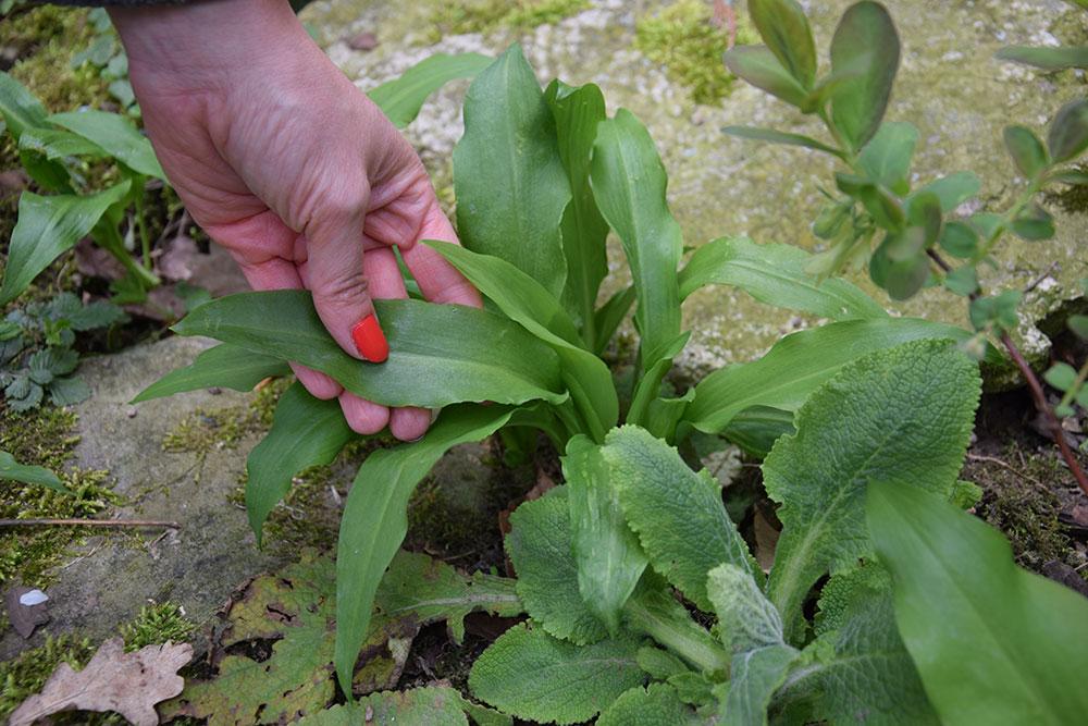 V bylinkové spirále se mohou uplatnit i stínomilné druhy léčivek. Dobrým příkladem je česnek medvědí nebo kostival lékařský. foto: Lucie Peukertová