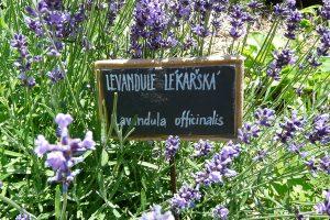 Vypěstujte si na své zahradě krásnou levanduli