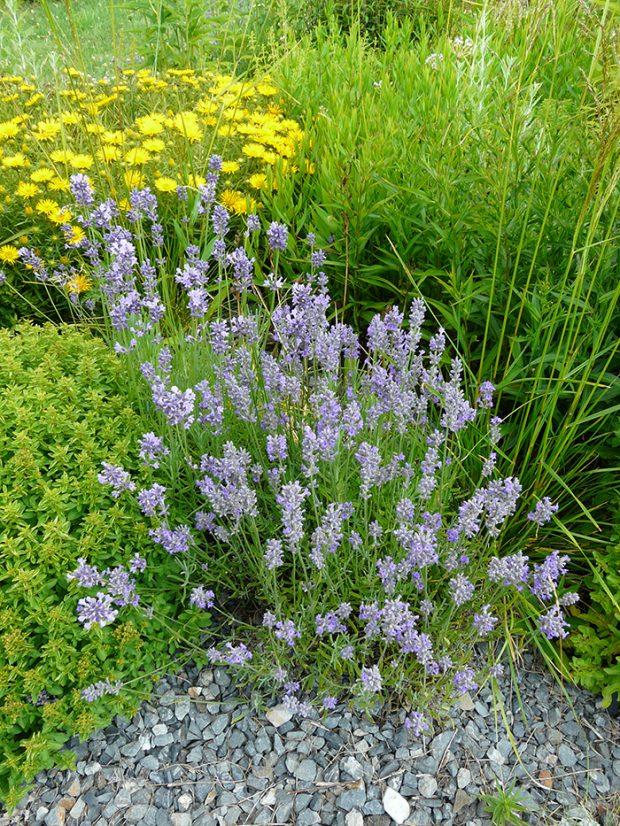 Modrokvěté kultivary bývají odolné vůči zimním mrazům.