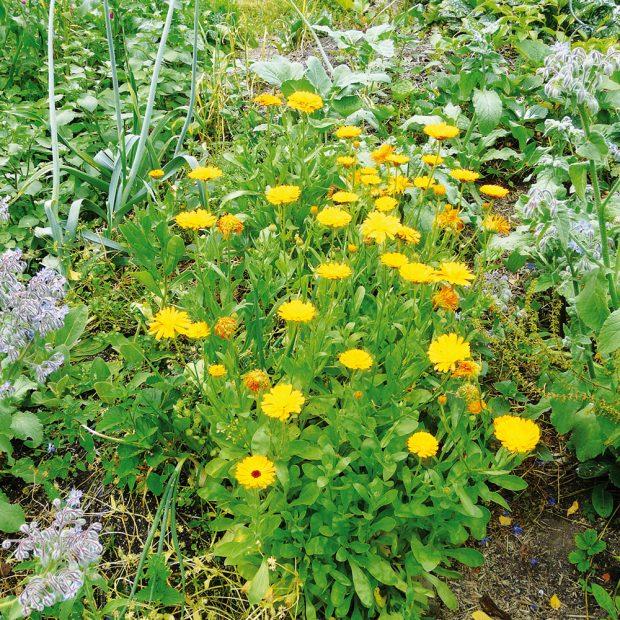 Bylinky se dají využít k ochraně užitkové zahrady. FOTO LUCIE PEUKERTOVÁ