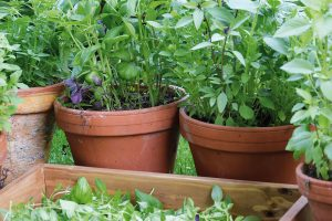 Některé bylinky lze pěstovat za oknem nebo na balkoně. FOTO LUCIE PEUKERTOVÁ