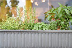 Za oknem si můžete vypěstovat nenáročné druhy bylinek. Mezi trvalkami by měly převažovat druhy bohaté na nektar a pyl. FOTO LUCIE PEUKERTOVÁ