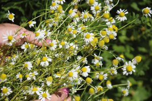 Při výběru bylinek na zahradu se inspirujte spisy Hildegardy zBingenu, třeba si zamilujete ijejí oblíbené byliny. FOTO LUCIE PEUKERTOVÁ