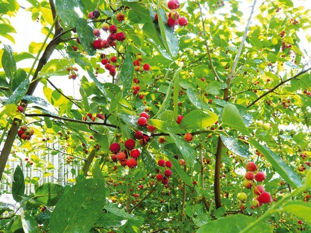 Do jedlého lesa vysaďte domácí iintrodukované dřeviny. Skvělou volbou bude také muchovník zvaný jako indiánská borůvka. FOTO LUCIE PEUKERTROVÁ