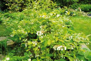Do světlého podrostu vysaďte borůvky chocholičnaté, které lze dále podsadit brusnicemi či klikvami. Těm vyhovuje taktéž půda kyselá, bohatá na rašelinu. FOTO LUCIE PEUKERTROVÁ