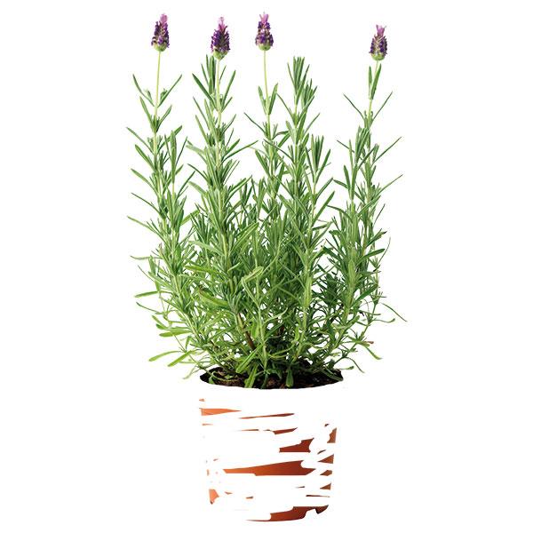 Levandule v květináči Socker, 17 cm, cena levandule 69 Kč, cena květináče 79 Kč, www.ikea.cz