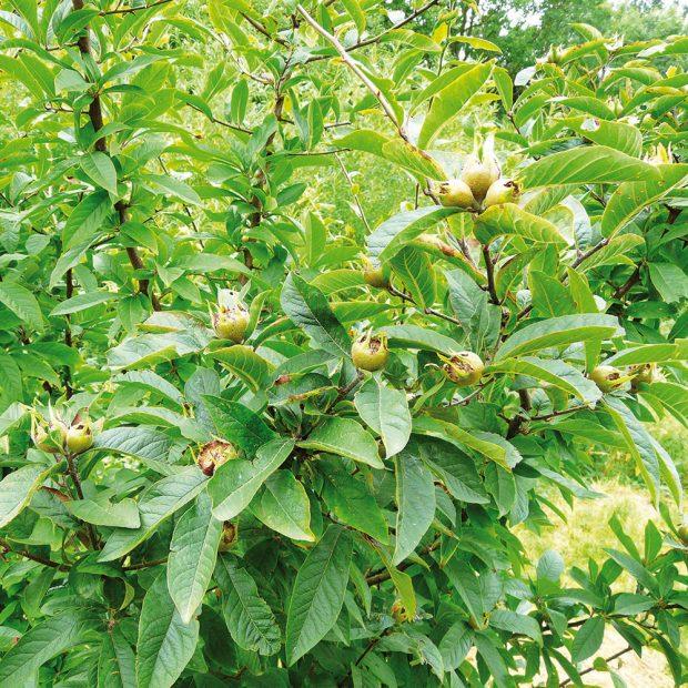 Mišpule obecná patří mezi znovuobjevené ovocné dřeviny, které pěstovaly již naše babičky. FOTO LUCIE PEUKERTROVÁ