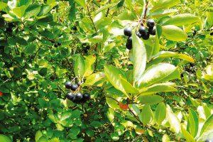 Temnoplodec černoplodý neboli černý jeřáb zaujme pozici vkeřovém patře mezi vzrůstnějšími druhy ovocných dřevin. FOTO LUCIE PEUKERTROVÁ