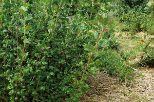 Zajímavé možnosti pěstování ovocných keřů nabízí iporostní okraj lesa, kde je již více světla. FOTO LUCIE PEUKERTROVÁ