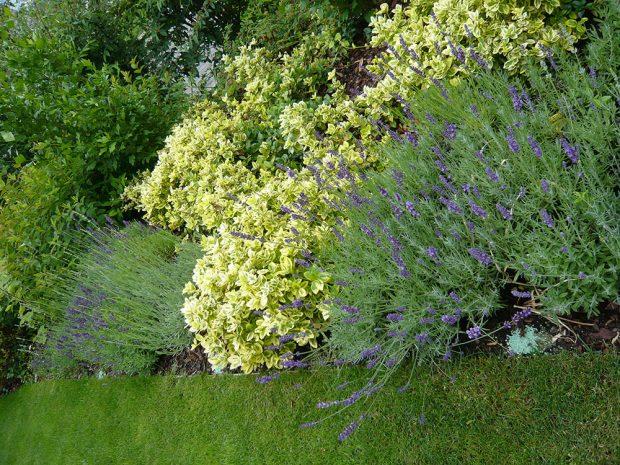 Brslen Fortuneův s panašovanými listy bude zahradu zkrášlovat i přes zimu. foto: Lucie Peukertová