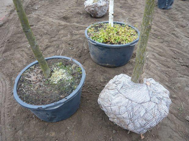 Charakter výsadby balových a kontejnerovaných dřevin se liší především ve způsobu úpravy kořenového balu. foto: Lucie Peukertová