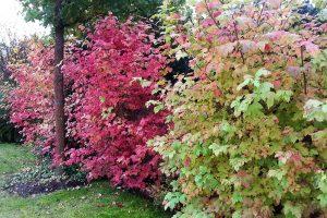 Dřeviny vybírejte i s ohledem na jejich podzimní zbarvení. foto: Lucie Peukertová