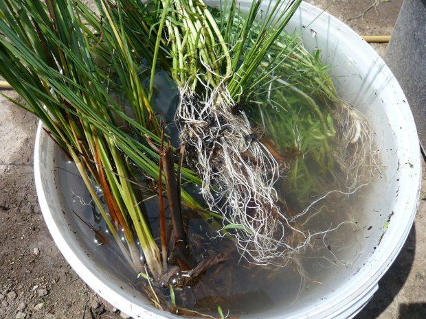 Promytí kořenů vodních rostlin při pěstování pomocí bezsubstrátové techniky. foto: Lucie Peukertová