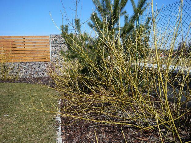 Svída výběžkatá kultivaru Flaviramea vynikne všude tam, kde očekáváte efekt i v zimě. Má totiž pestře zbarvené výhony. foto: Lucie Peukertová