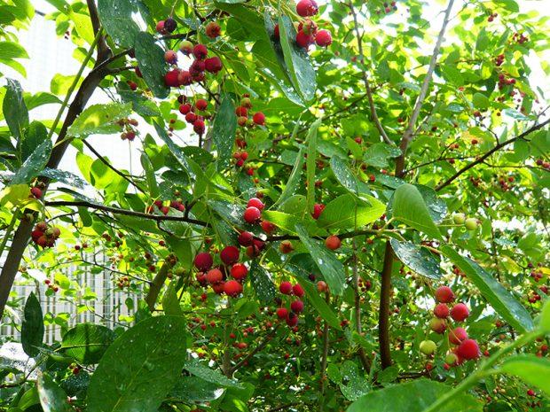 Ovocné dřeviny do malé a velké zahrady: Jaké druhy vybrat?