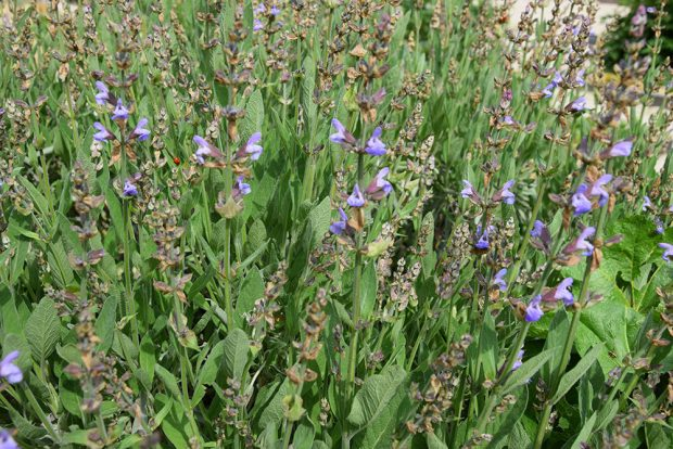 Největší službu na zahradě udělají aromatické druhy bylin, které svou vůní odpuzují celou řadu druhů škodlivého hmyzu. foto: Lucie Peukertová
