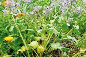 Medonosné druhy vbylinkovišti amezi zeleninou. FOTO LUCIE PEUKERTOVÁ