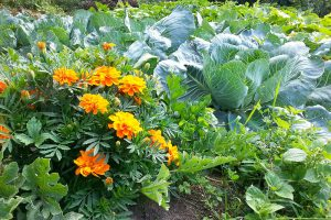 Na podzim skliďte poslední zeleninu, záhony ale nenechte volné a vysejte zelené hnojení. foto: Lucie Peukertová