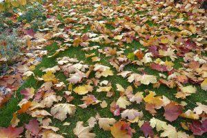 Okrasný trávník pravidelně zbavujte spadaného listí. foto: Lucie Peukertová