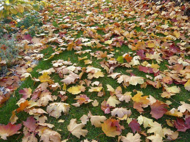 7b42791ee89 Okrasný trávník pravidelně zbavujte spadaného listí. foto  Lucie Peukertová