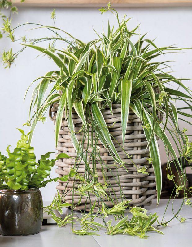 Zelenec (Chlorophytum) je pravděpodobně nejčastěji pěstovanou interiérovou rostlinou. Péče ozelenec je jednoduchá anemá příliš velké nároky na světlo, vpříliš suchém vzduchu však ocení občasné rosení listů.