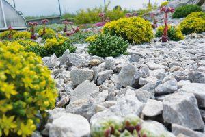 Na mělkou půdu vybírejte druhy ze skupiny skalniček. FOTO LUCIE PEUKERTOVÁ