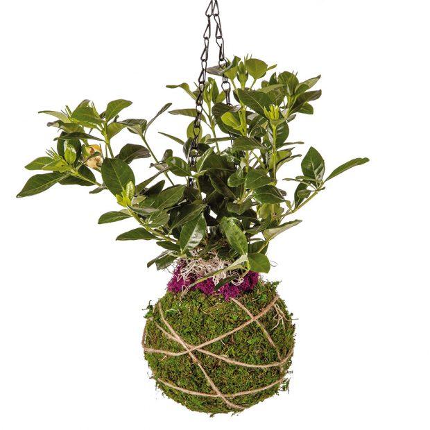 Kokedamy jsou stále oblíbenějším způsobem pěstování okrasných rostlin. Mechové koule lze zavěsit nebo postavit na misku.