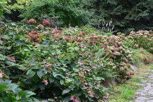 Odkvetlá květenství hortenzií odstraňte pokud možno až na jaře. foto: Lucie Peukertová