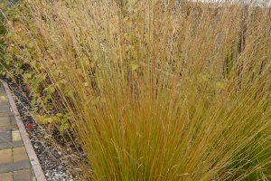 Okrasné trávy na podzim barví do zajímavých barev. foto: Lucie Peukertová