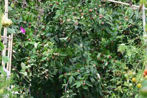 Po prvních mrazech lze sklidit některé druhy ovoce, jako je třeba mišpule obecná. foto: Lucie Peukertová