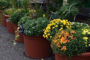 Rostliny pěstované v nádobách jsou již na podzim vystaveny poměrně nízkým teplotám. foto: Lucie Peukertová