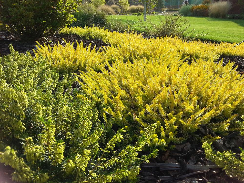 Vřesovištní rostliny jsou atraktivní květy i zbarvením výhonů. foto: Lucie Peukertová