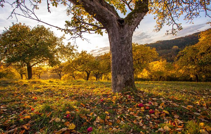 Čas na ochranu ovocných stromů: Na co nezapomenout v ovocné zahradě v listopadu?
