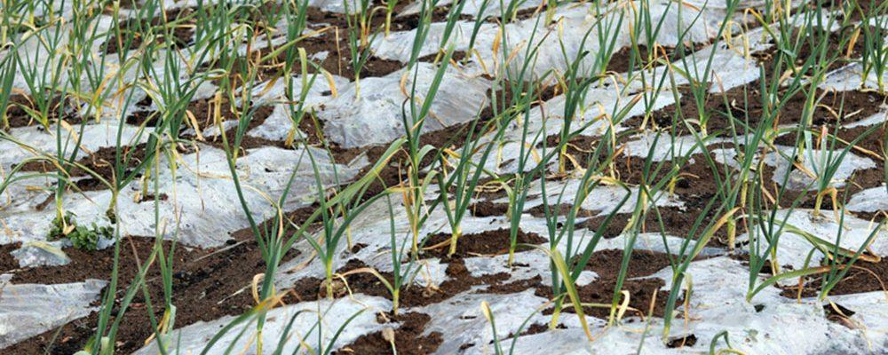 Jak pěstovat a chránit zeleninu, která přezimuje na zahradě?