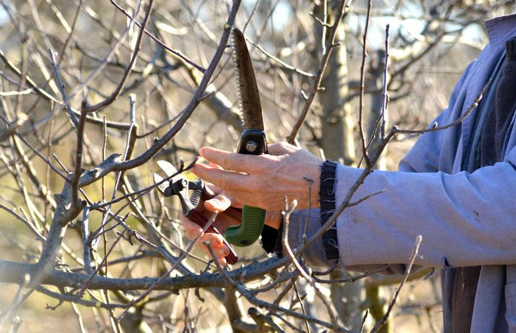 Výsadba ovocných stromků v listopadu a odebírání roubů