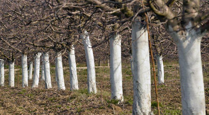 Prosincové práce v ovocné zahradě: Čemu byste měli věnovat pozornost?