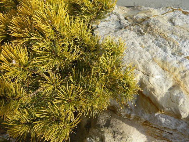 Borovice kleč ´Winter Gold´ se během zimy přebarví do zlatých tónů. Foto Lucie Peukertová