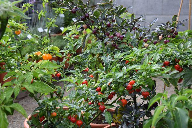 Do skupiny jedlých letniček patří také okrasné papričky. foto Lucie Peukertová