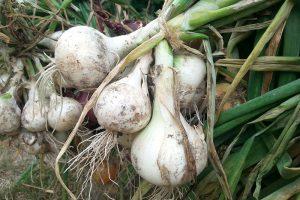 Odrůda cibule Snowball se hodí spíše pro krátkodobé skladování. foto Lucie Peukertová