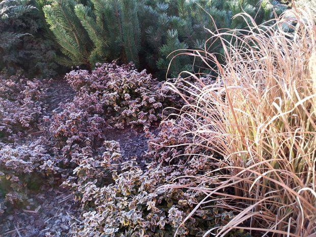 Pro některé stálezelené dřeviny je typická změna zbarvení během zimy. Dobrým příkladem je brslen Fortuneův Emarald´n Gold´. Foto Lucie Peukertová