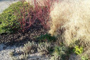 Pro zahradu efektní i během zimy se skvěle hodí hlavně dřeviny s pestrými výhony a okrasné trávy. Foto Lucie Peukertová