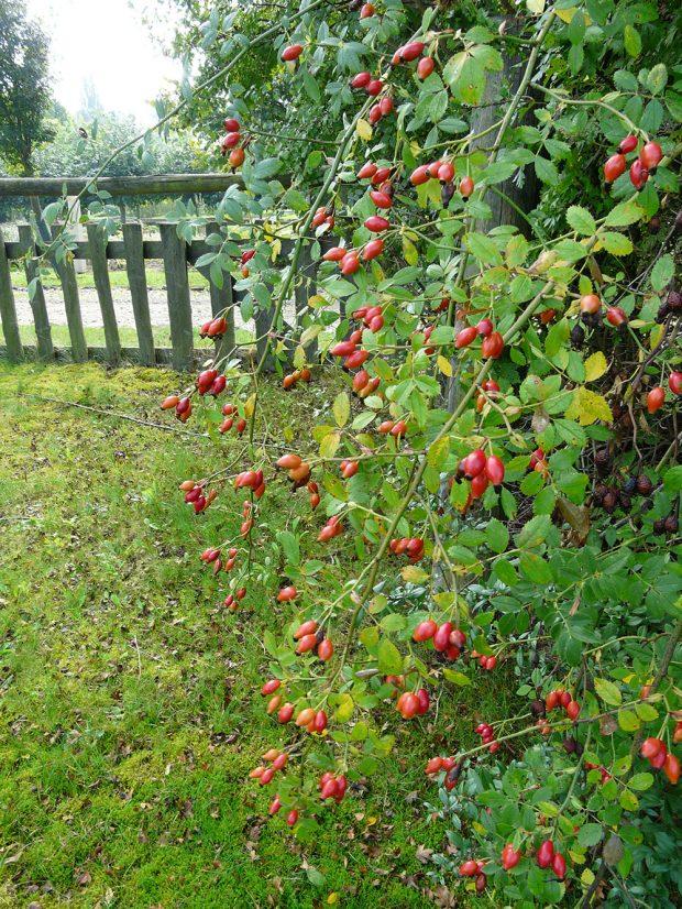 Růže šípková bude dobrou volbou pro volně rostlý živý plot na venkově. foto Lucie Peukertová